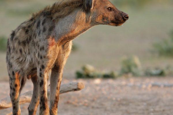 hyene-is-afrique-sud-decouverte