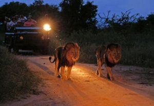 Safari de nuit à Sabie Sands et les lions
