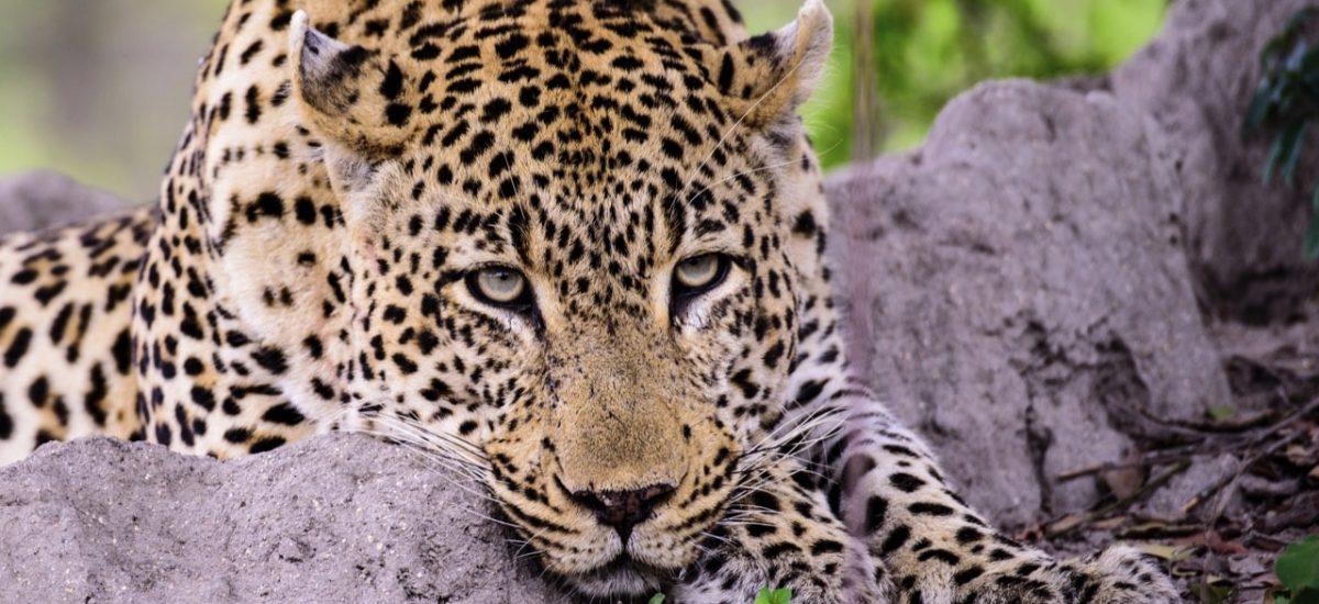 Un léopard tranquille