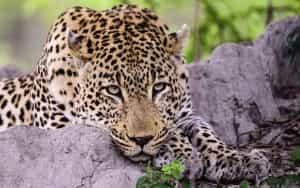 leopard-sabie-sand-is-afrique-sud-decouverte