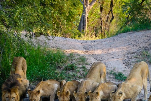 Famille de lions circuit Simba