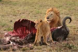 lion-lionceau-proie-afrique-sud-decouverte