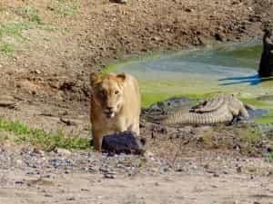 lionne-croco-kruger-afrique-du-sud-decouverte