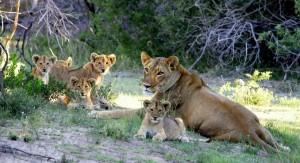 lionne-lionceaux-is-afrique-sud-decouverte