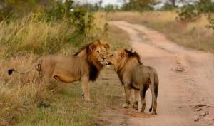 lions-couple-afrique-sud-decouverte