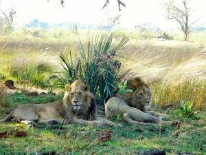 lions-couple-savane-afrique-sud-decouverte