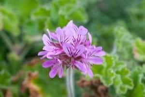pelargonium-capitatum-afrique-du-sud-decouverte