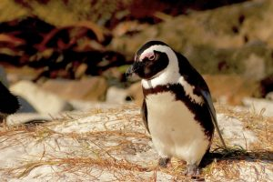 pingouin-boulder-beach-afrique-du-sud-decouverte