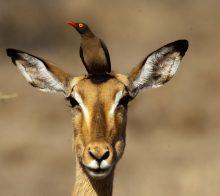 Impala et un pique boeuf afrique du sud