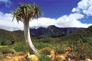 plante-cactus-afrique-du-sud-decouverte