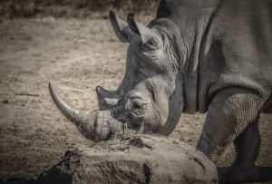 rhinoceros-is-afrique-sud-decouverte