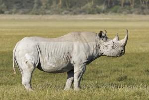 rhinoceros-noir-mpumalanga-is-afrique-du-sud-decouverte