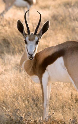 springbok-face-afrique-sud-decouverte