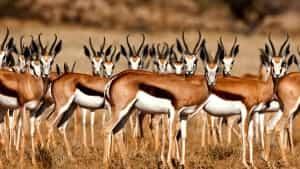 springbok-troupeau-afrique-sud-decouverte