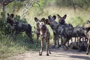 wild-dog-afrique-du-sud-decouverte