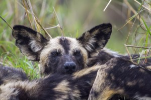 wild-dog-is-afrique-du-sud-decouverte