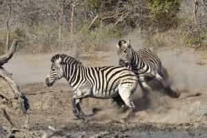Circuits en Afrique du Sud : zèbres course