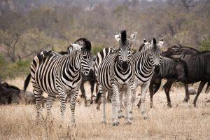 zebres-gnous-is-afrique-du-sud-decouverte