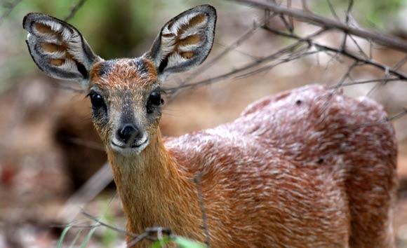 Le Cape grysbok en afrique du sud