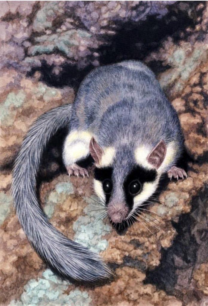 faune-Graphiurus-ocularis