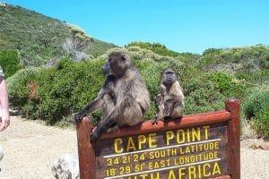 Babouins au cap de bonne espérance sur le panneau d'entrée