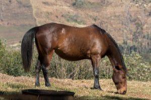 boeperd-chevaux-afrique-du-sud