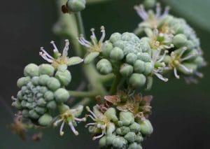 boscia-augustifilia-plante-afrique-du-sud