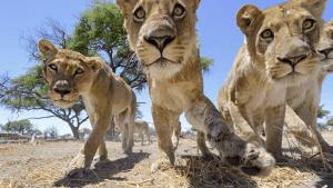 kevin-richardson-lionceaux