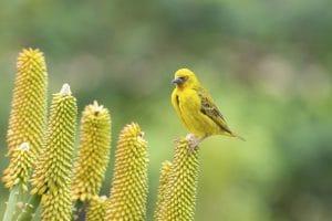 Canari jaune afrique du sud