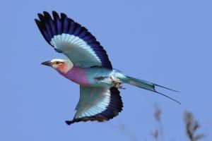 Roller en vol parc Kruger afrique du sud
