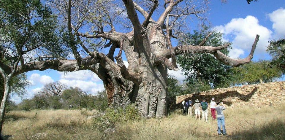 Thulamela Polokwane baobab