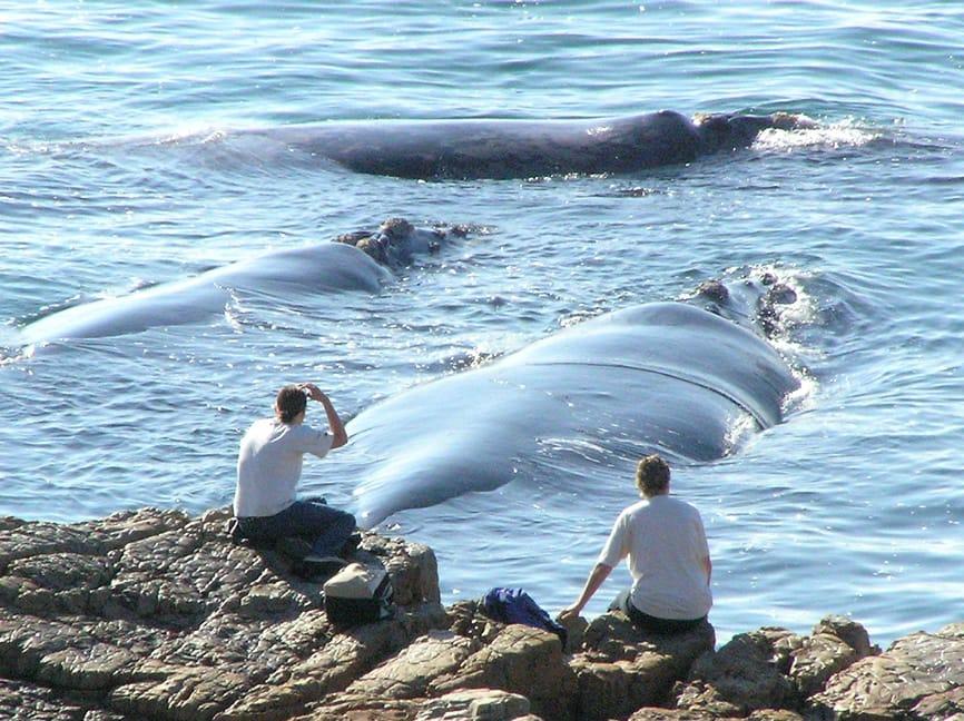 observation-baleines-afrique-du-sud-decouverte