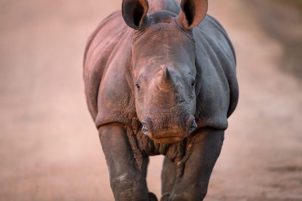 Bébé rhinocéros sur chemin au parc Kruger en afrique du sud