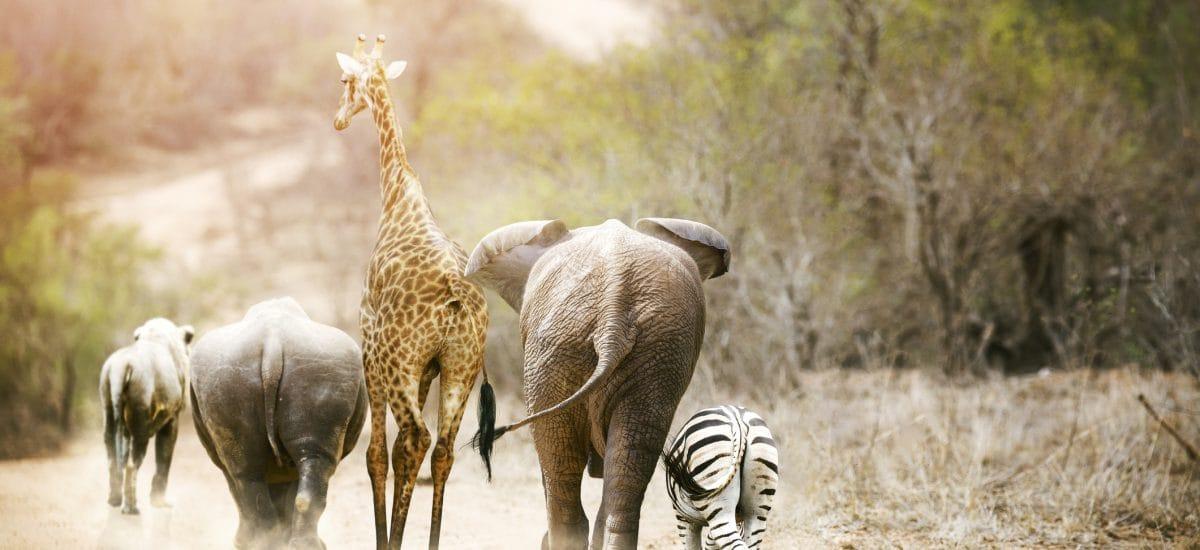 Rhinoce2ros, Girafe, Elépahnt et zèbre vue de dos