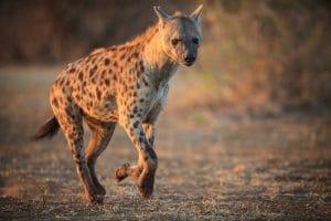 faune-kruger-hyene-course-is-afrique-du-sud-decouverte
