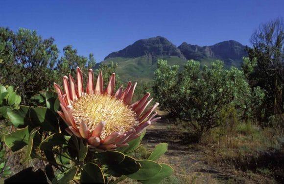 fynbos3-afrique-du-sud-decouverte