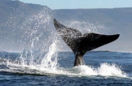 Baleine franche australe queue a Hermanus en Afrique du Sud