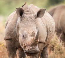 Rhinocéros vue de face au Kruger en Afrique du Sud
