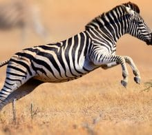 Saut de Zèbre au parc Kruger en Afrique du Sud