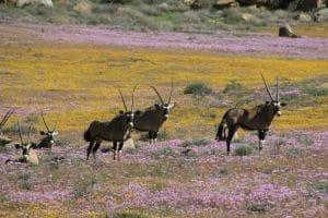 oryx-namaqualand-fleur-afrique-du-sud-decouverte