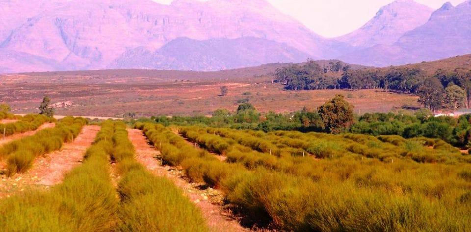 rooibos-afrique-du-sud-decouverte