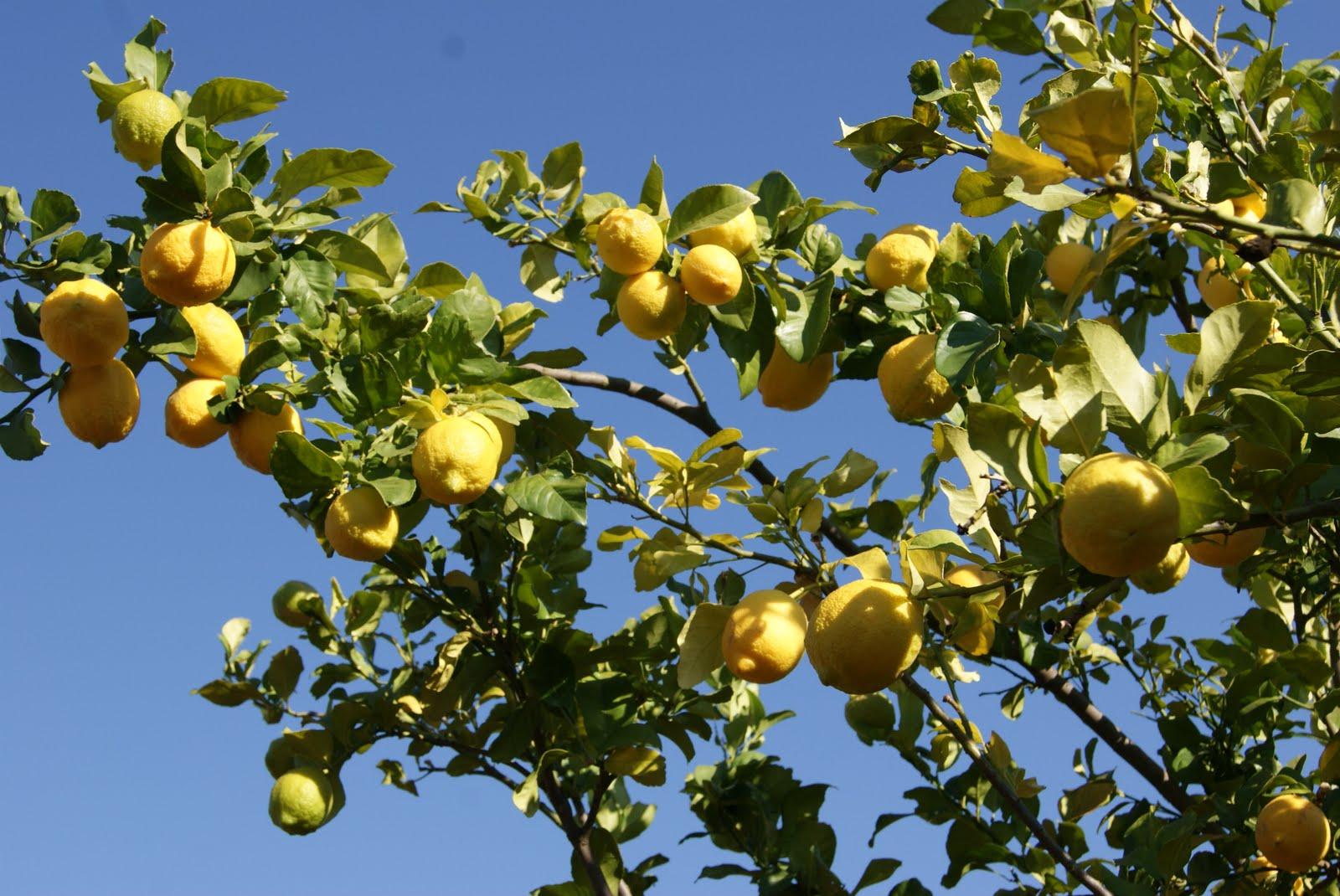 amarula-fruit-afrique-du-sud-decouverte
