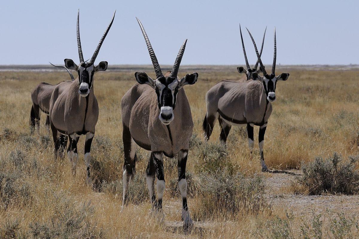 antilope-gemsbok-afrique-du-sud-decouverte