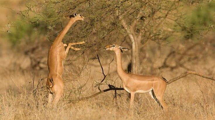 antilope-gerenuk-afrique-du-sud-decouverte