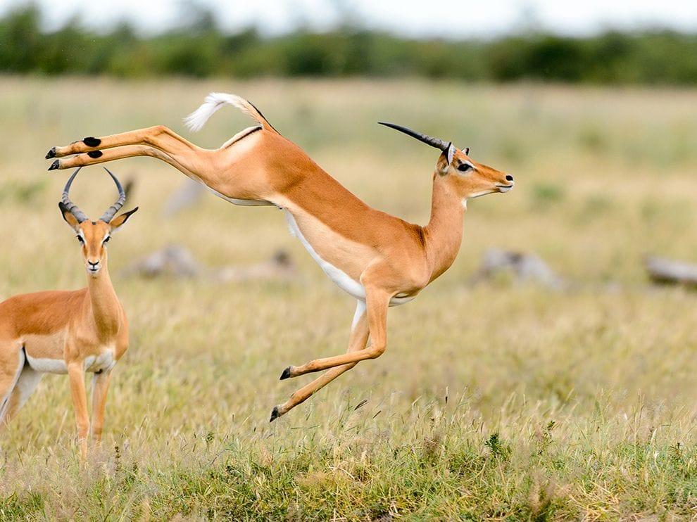antilope-impala-afrique-du-sud-decouverte