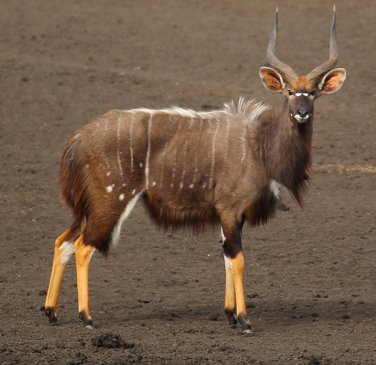 antilope-nyala-afrique-du-sud-decouverte