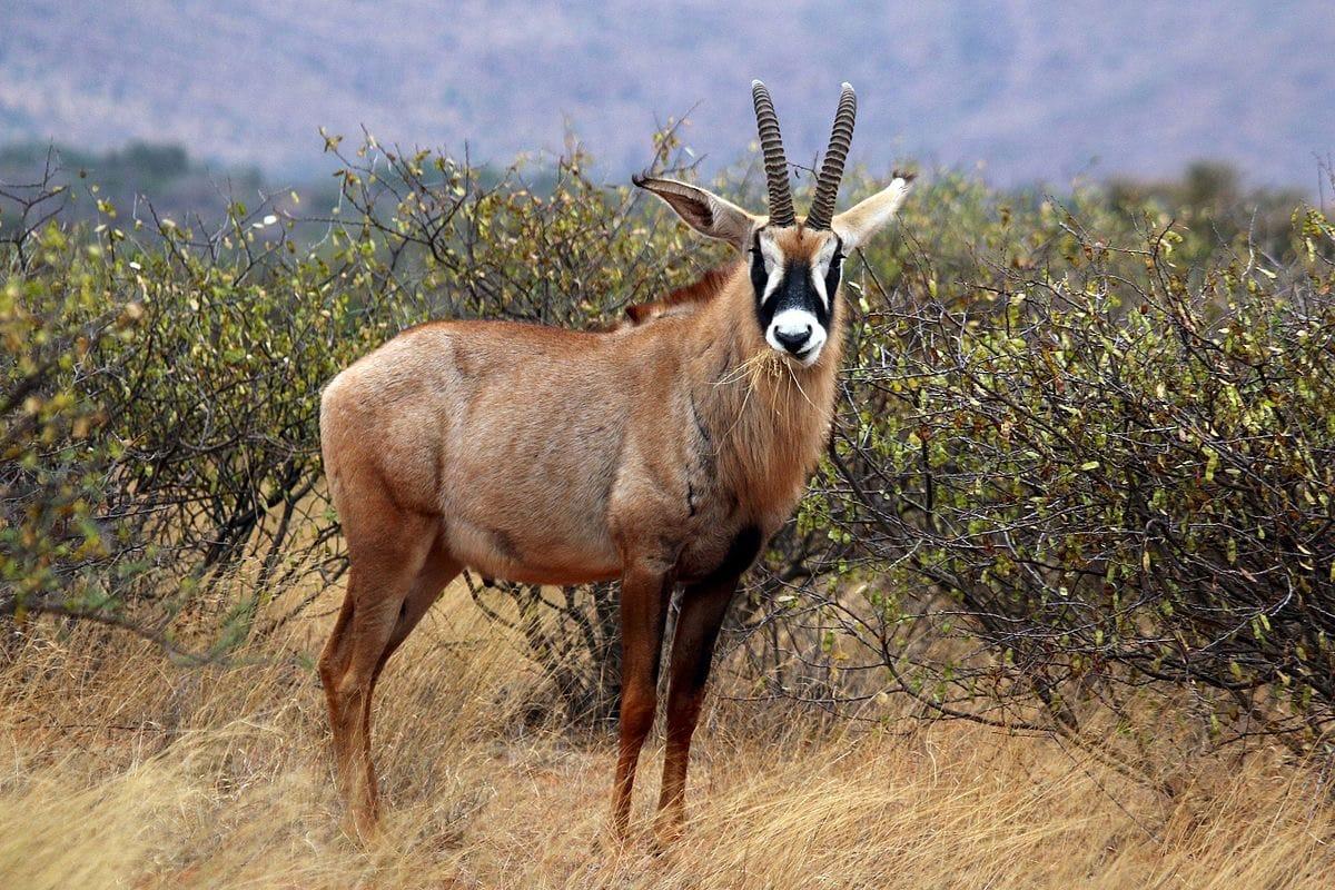 antilope-roan-afrique-du-sud-decouverte