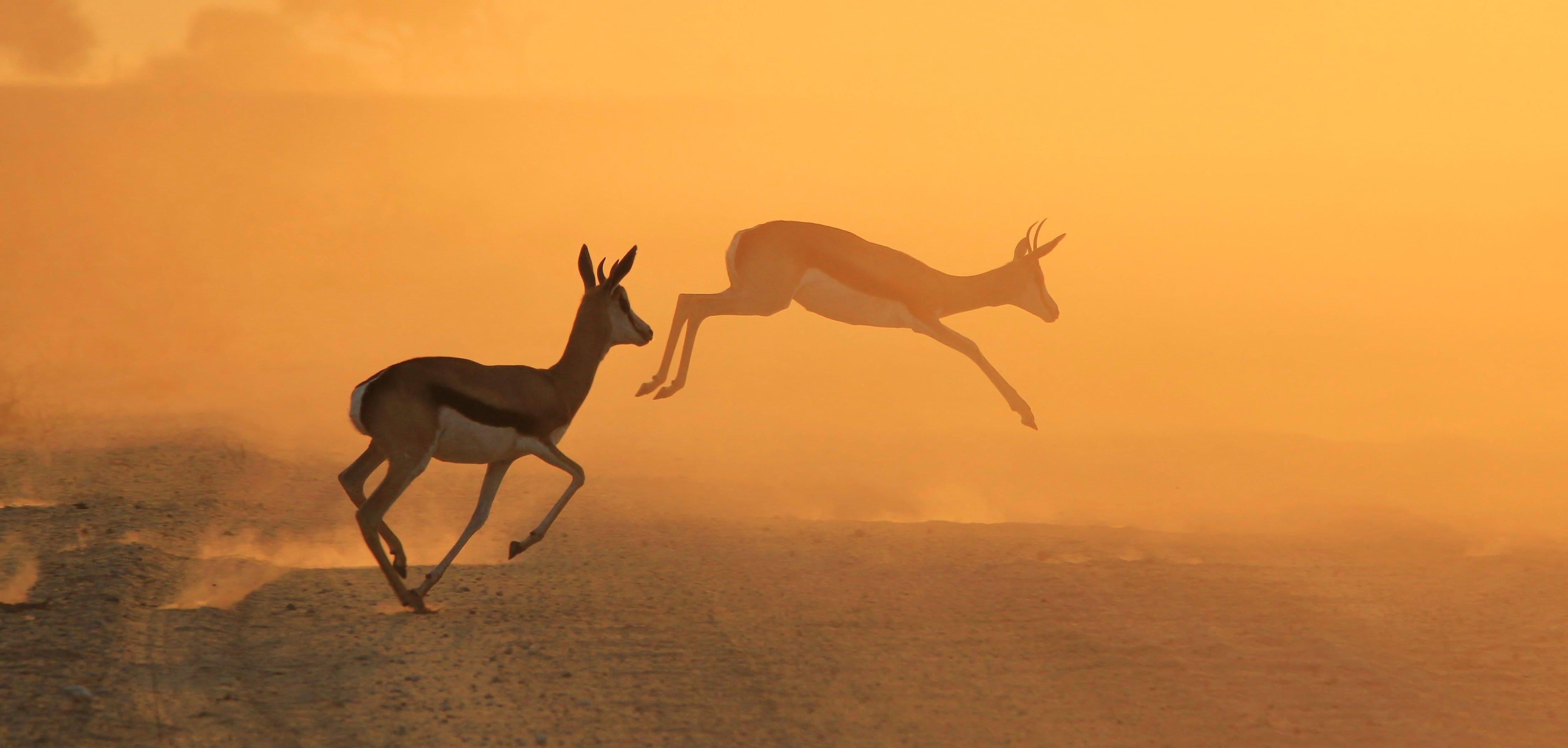 antilope-saut-afrique-du-sud-decouverte