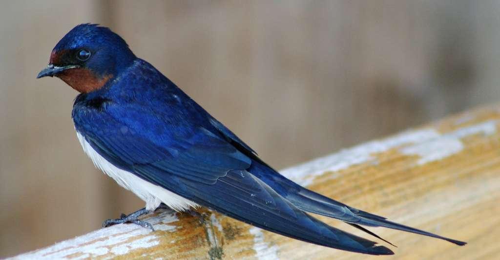 hirondelle-bleue-swaziland-afrique-du-sud-decouverte