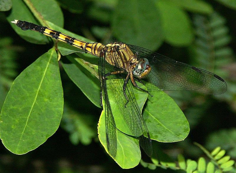 libellule-swaziland-afrique-du-sud-decouverte